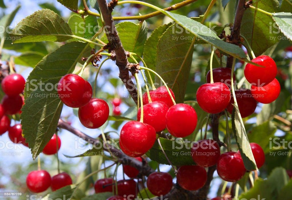 Montmorency Tart Cherries stock photo