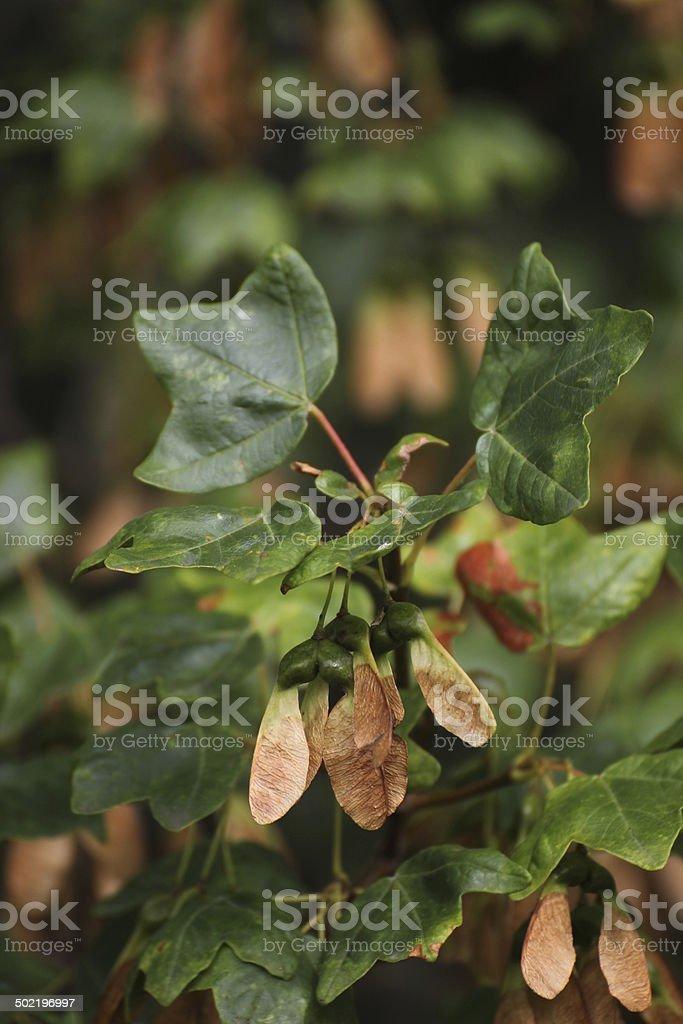 Montpellier Maple stock photo