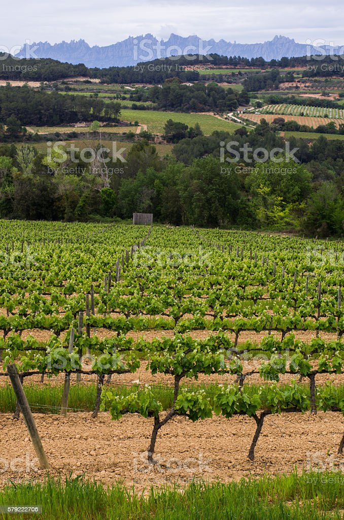 montserrat mountains penedes catalonia vine vineyard torrelavit stock photo