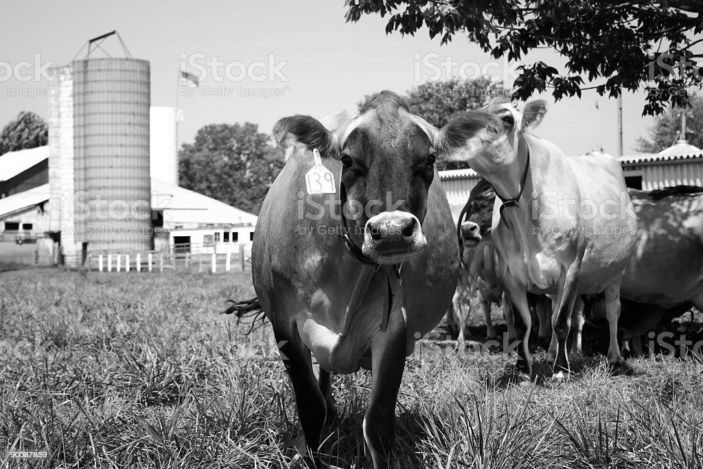 Moo Cow in Black & White stock photo