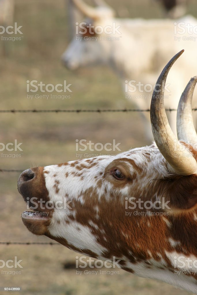 moo royalty-free stock photo