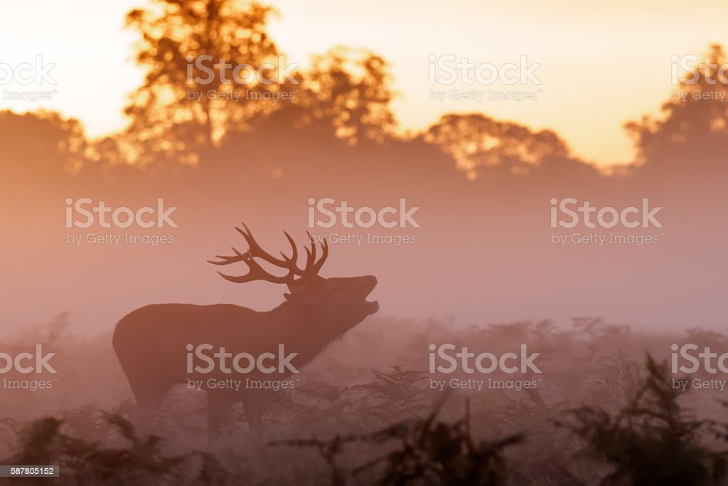 Moody silhouette of Red Deer stag (Cervus elaphus)  bugling stock photo