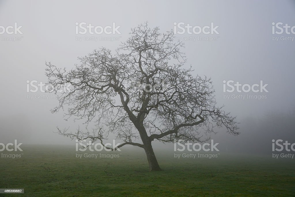 Moody tree in early spring fog stock photo