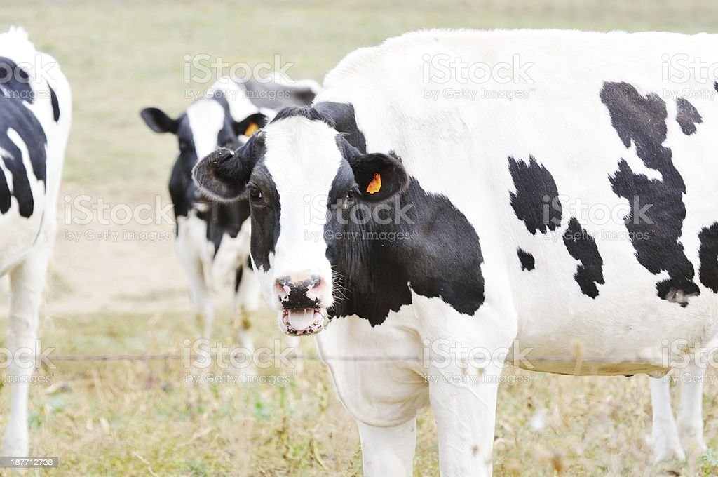 Mooing Cow royalty-free stock photo