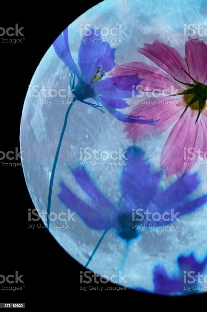 Moon and cherry blossoms fall stock photo