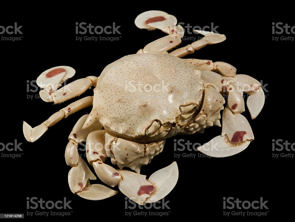 moon crab in black back stock photo