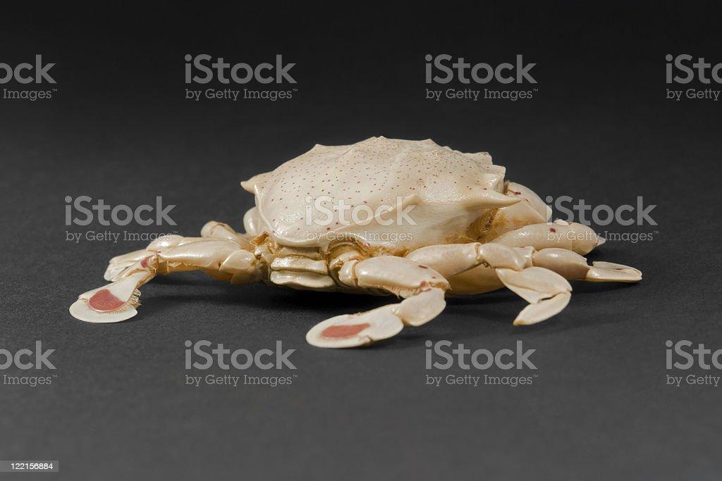 moon crab in dark back stock photo