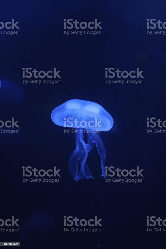 Moon Jelly Fish royalty-free stock photo