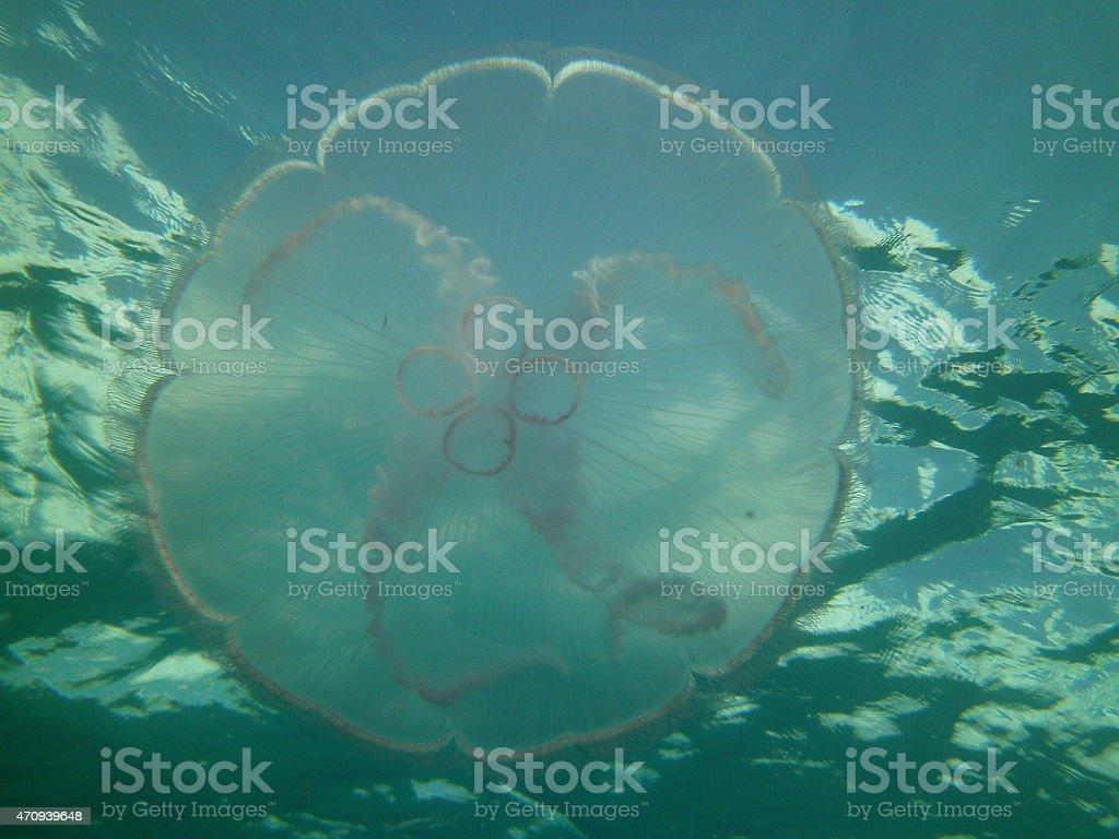 Moon Jellyfish in Ocean stock photo