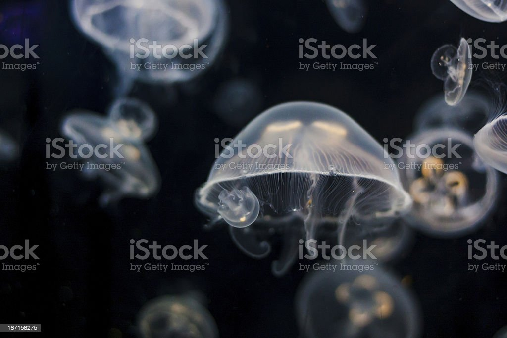Moon Jellyfish royalty-free stock photo