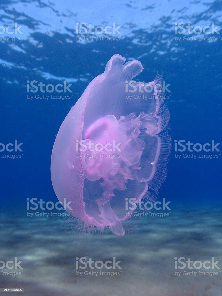 Moon jellyfish royalty-free stock photo