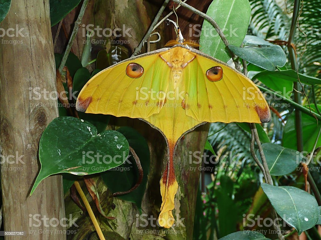 Moon moth butterfly stock photo