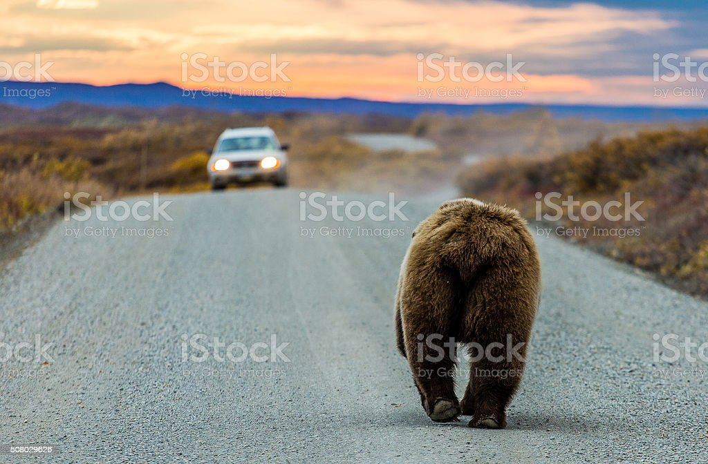 Mooned by a grizzly bear stock photo