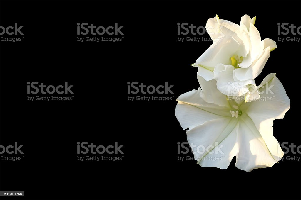 Moonflower (Ipomoea alba L.). Edible flower. stock photo