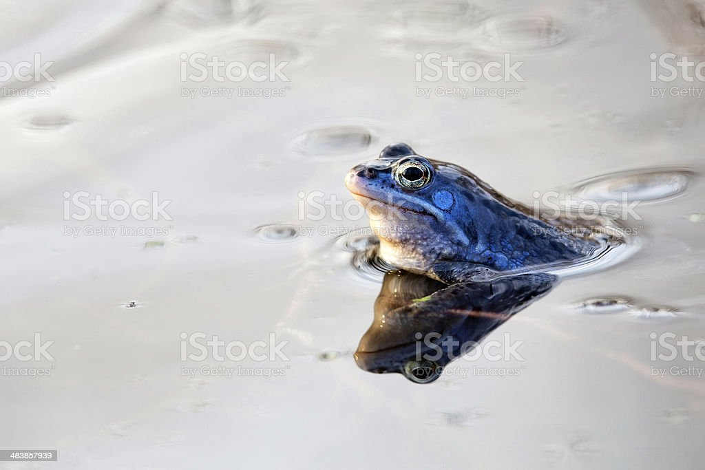 Moor frog in the wild royalty-free stock photo