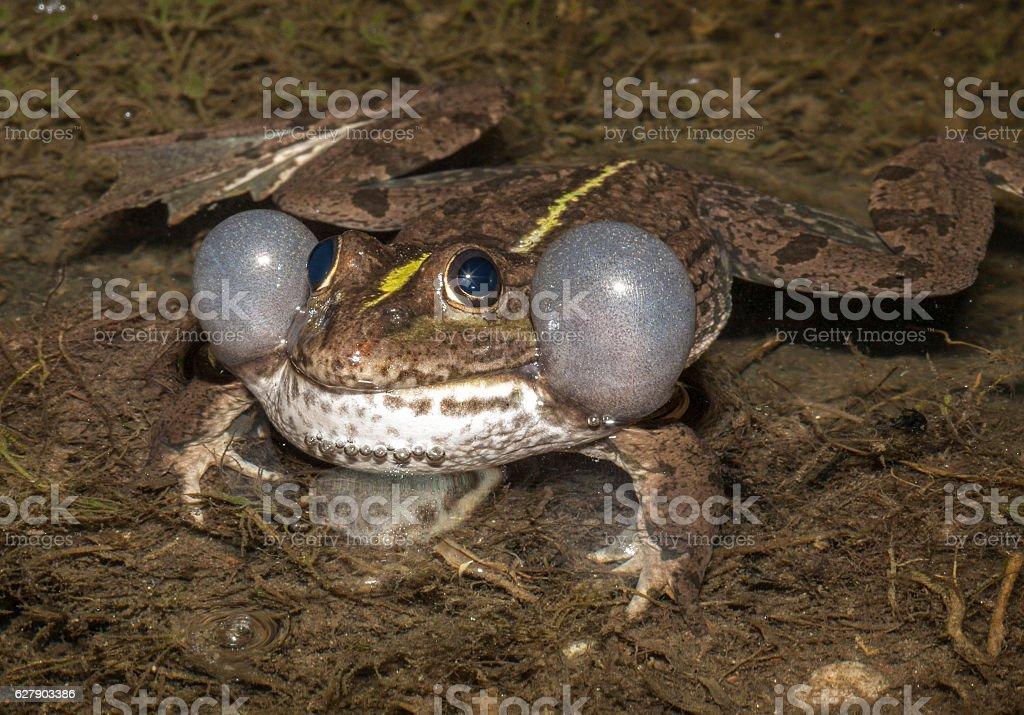 Moor frog, Lake Issyk-Kul, Kirgistan stock photo