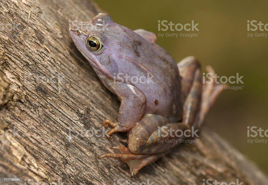 Moor frog royalty-free stock photo