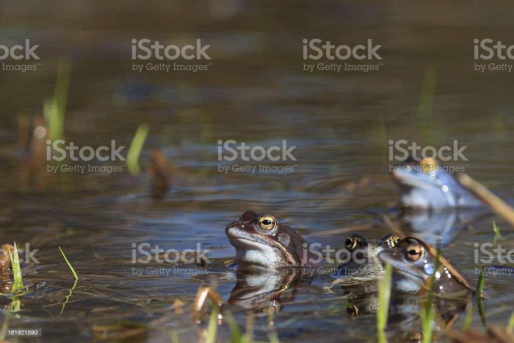 Moor frogs royalty-free stock photo