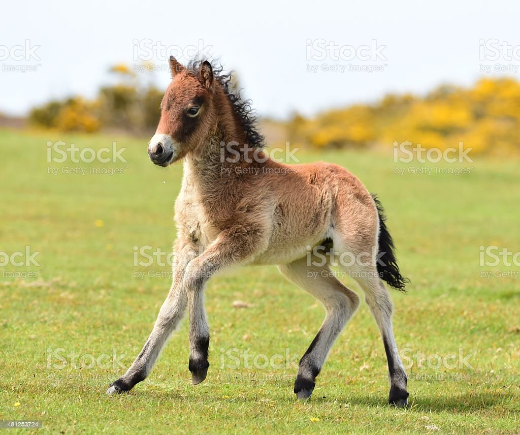 Moor Pony stock photo