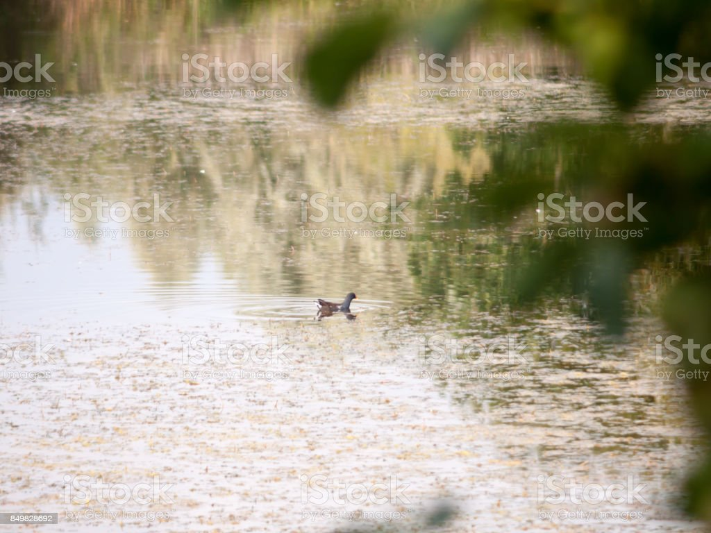 moorhen in the water lake surface outside animal stock photo