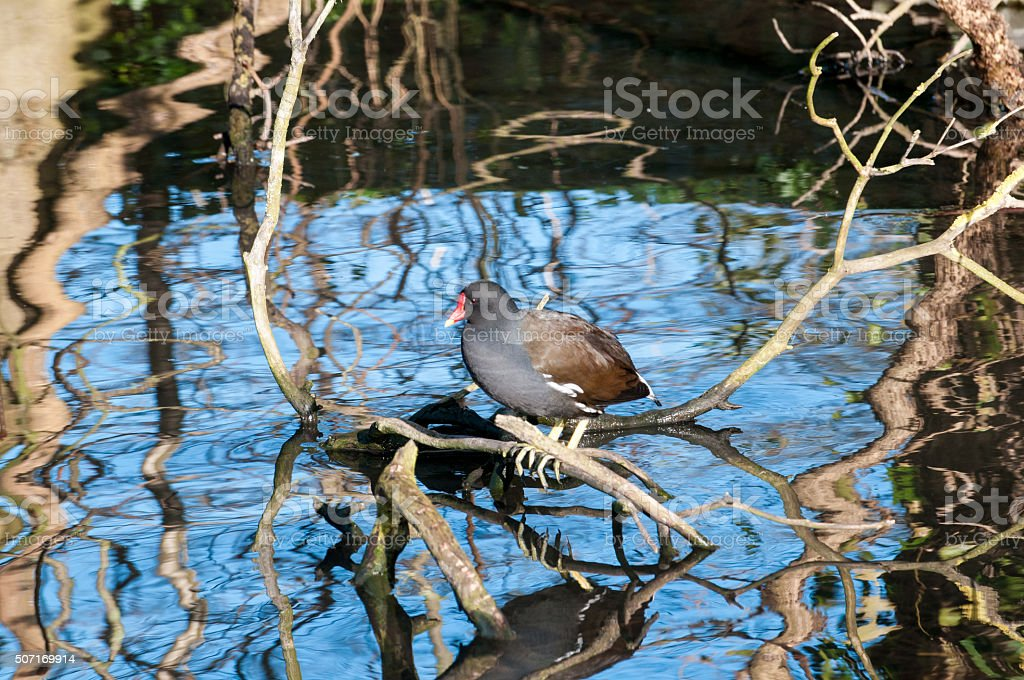 Moorhen on a branch stock photo