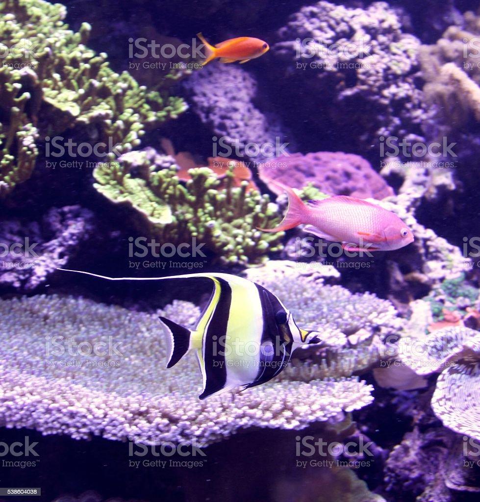 Moorish Idol Fish stock photo