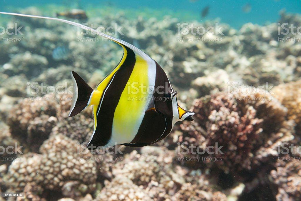 Moorish Idol Fish (Zanclus cornutus) swimming over a reef (XXXL) stock photo