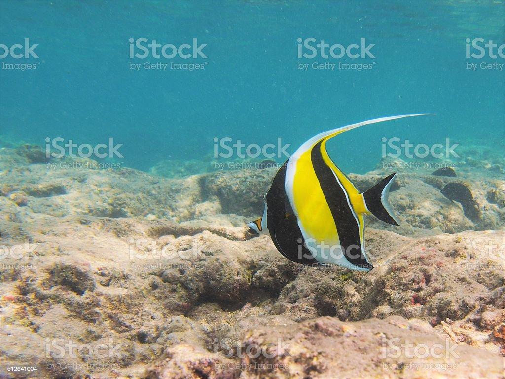 Moorish Idol in Hawaiian waters stock photo