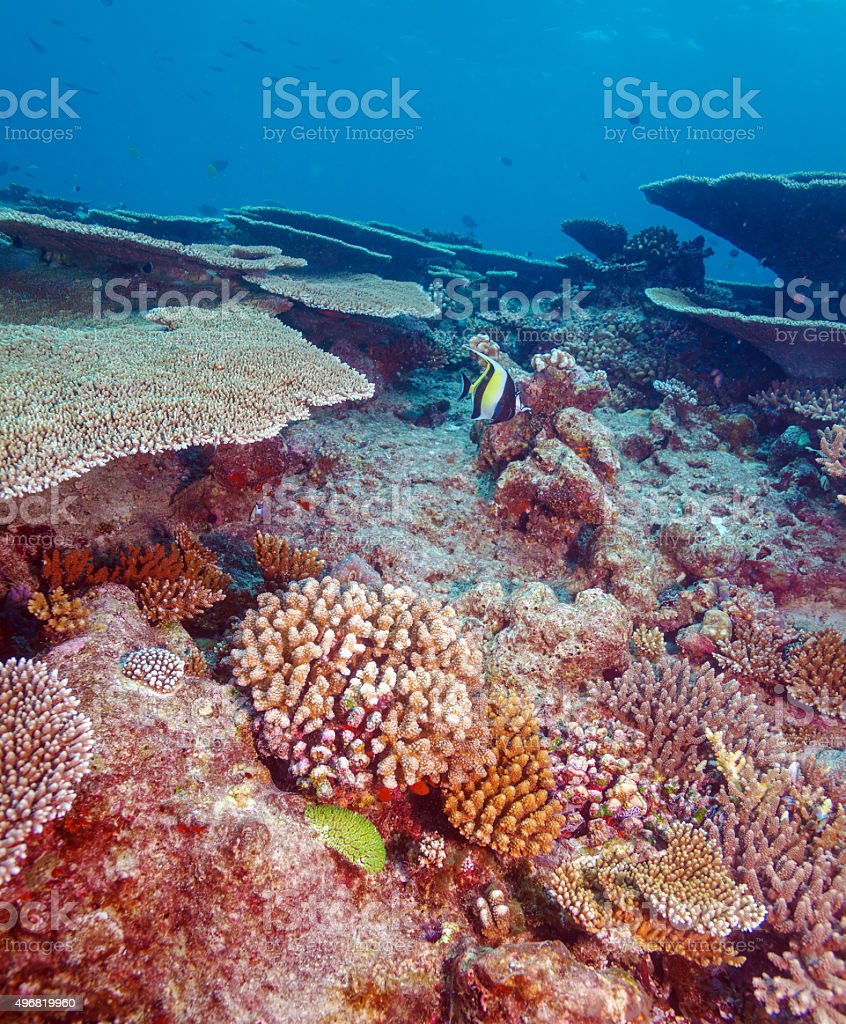 Moorish Idol (Zanclus cornutus) near Coral Reef stock photo