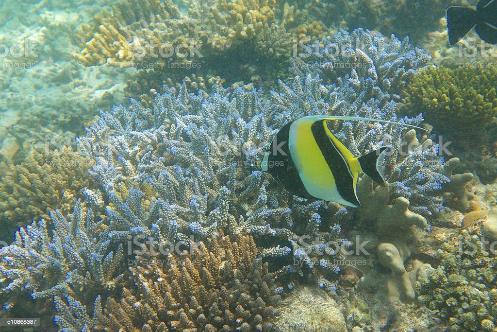 Moorish Idol over staghorn acropora coral reef, Maldives, Indian Ocean stock photo