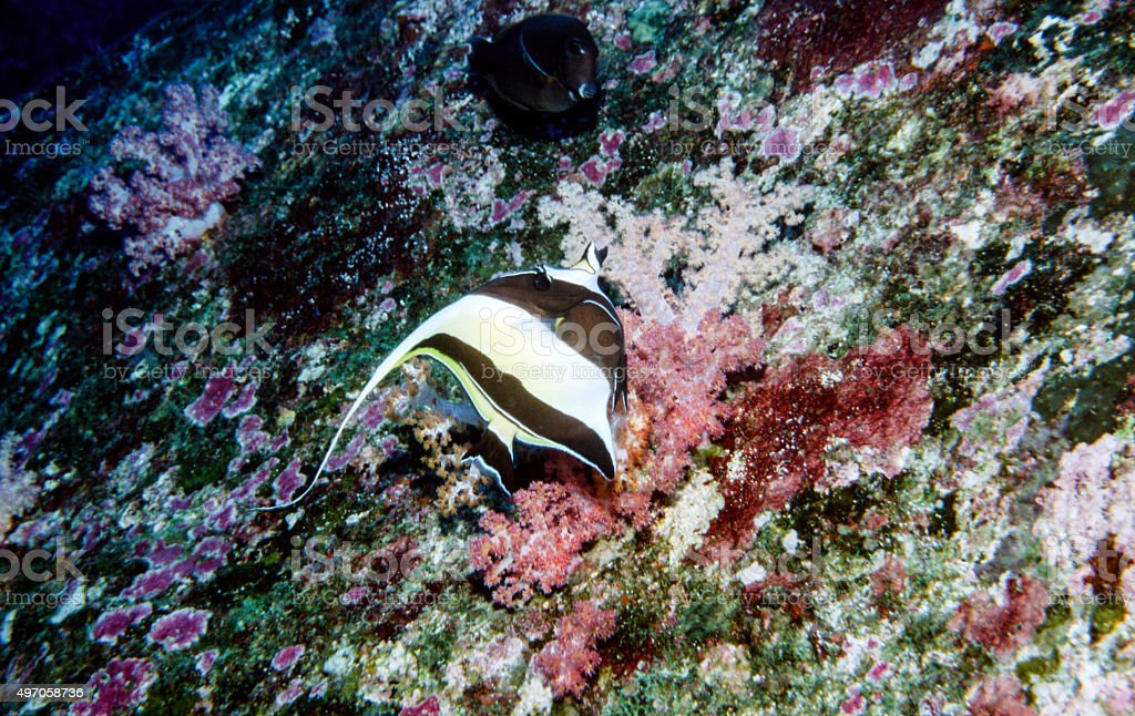 Moorish Idol with coral background - Thailand royalty-free stock photo