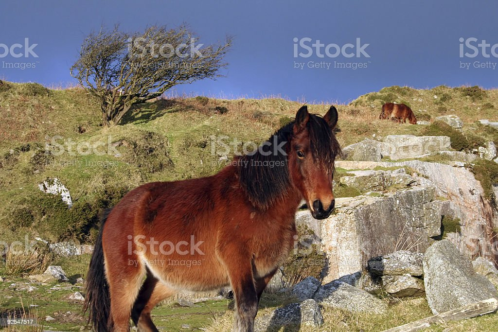 Moorland Horse royalty-free stock photo