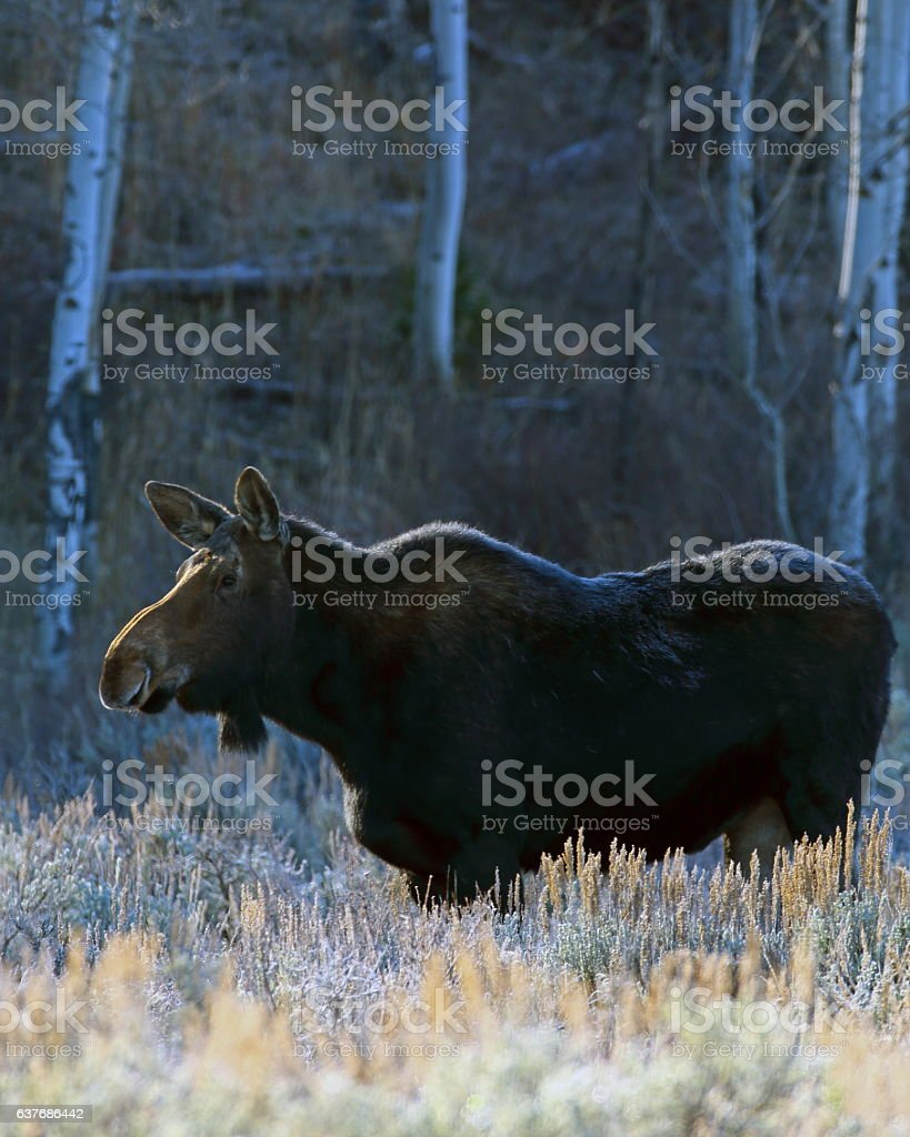 Moose Adult Cow stock photo