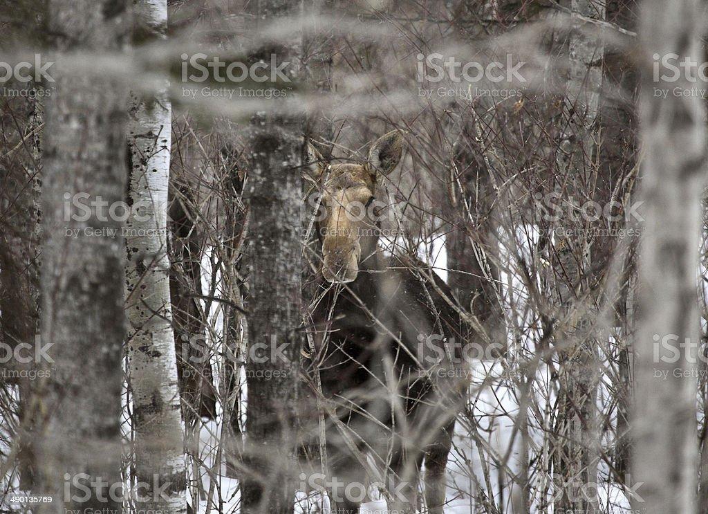 Moose amongst the trees stock photo