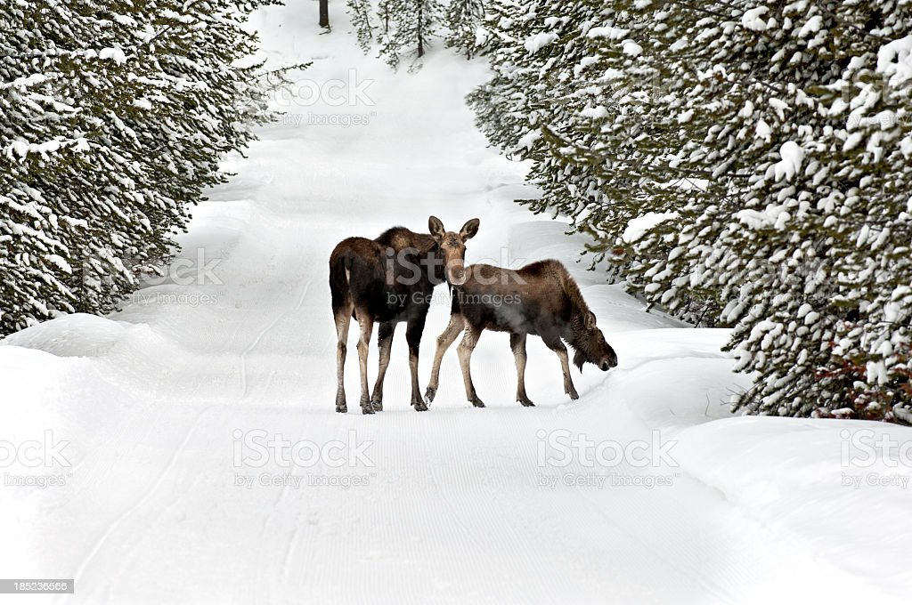 Moose and Calf wander down a snow covered logging trail stock photo