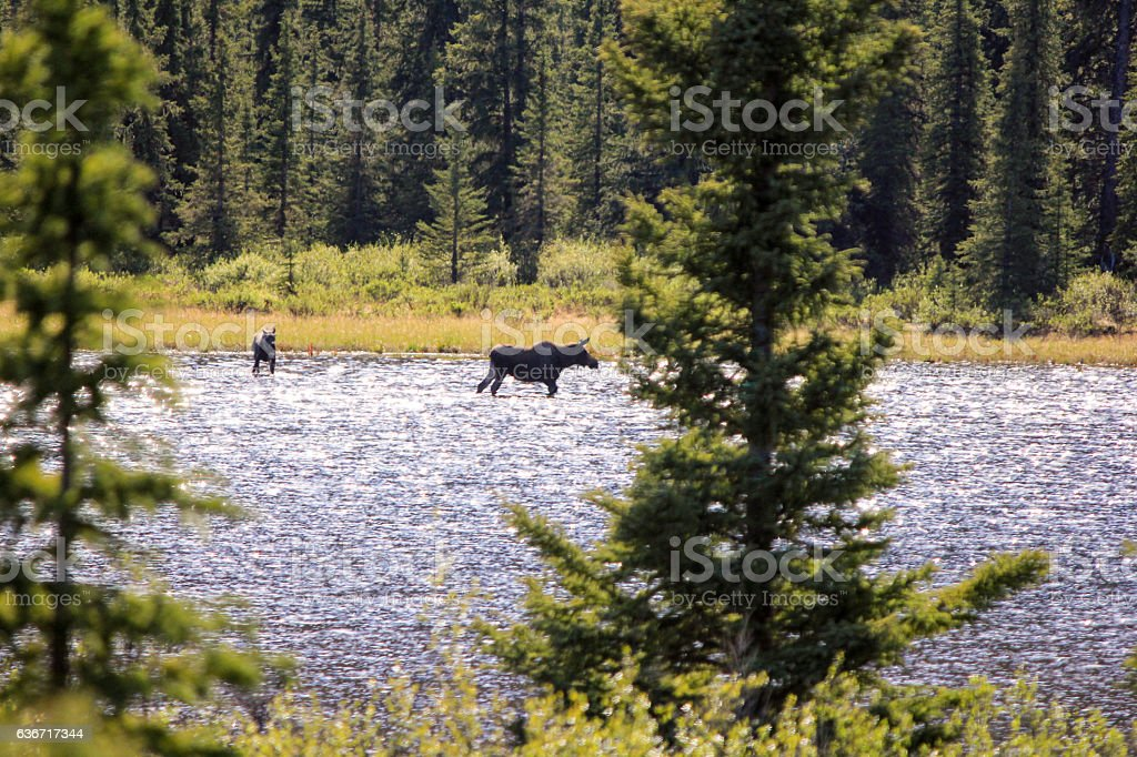 Moose and Calve in Denali Highway stock photo
