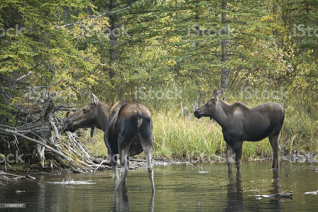 moose and mom royalty-free stock photo