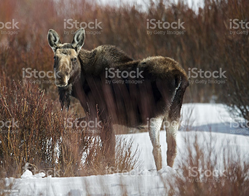 Moose at the dinner table royalty-free stock photo