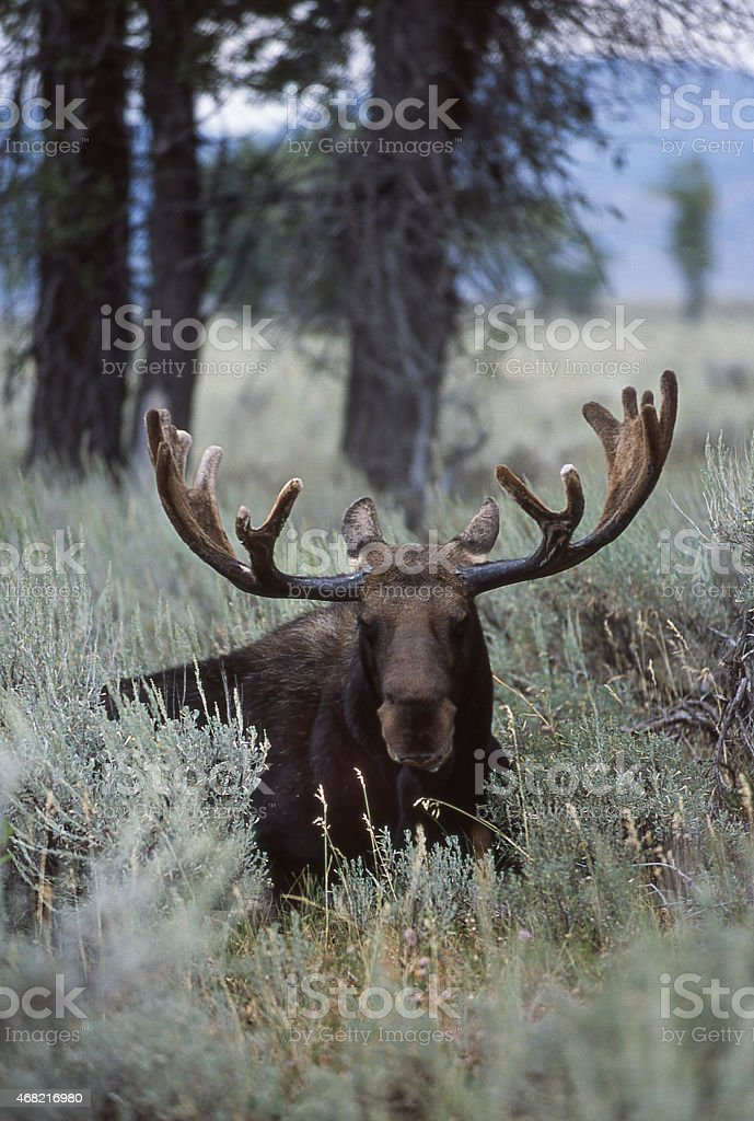 Moose Backlit by Early Wyoming Light Lying in Brush stock photo