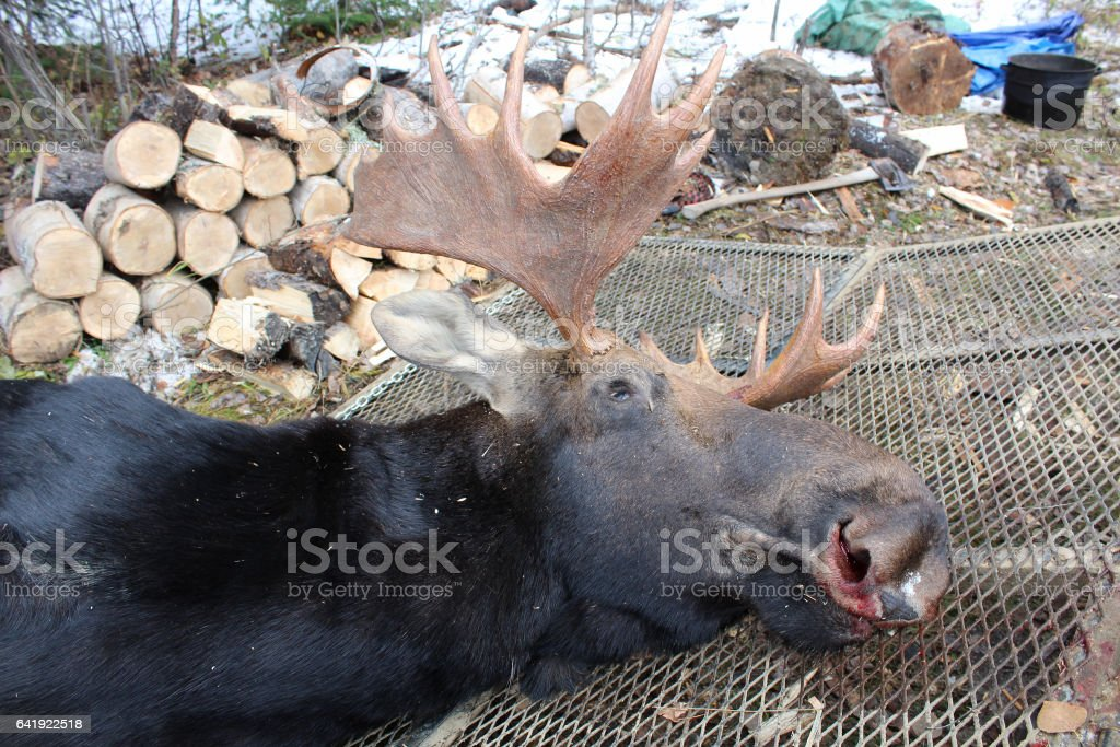 Moose Brought Back to Camp to Skin stock photo