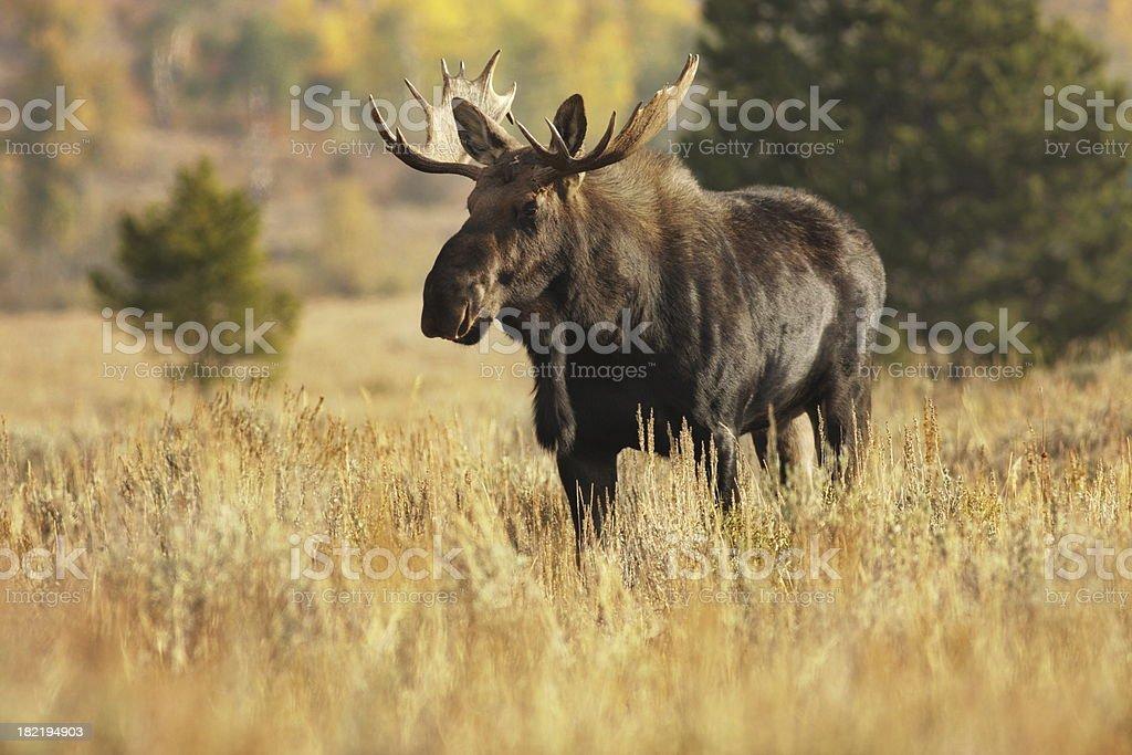 Moose Bull Alces Animal Wildlife stock photo
