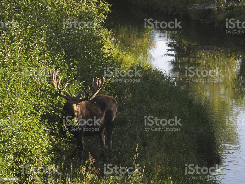 Moose Bull Alces Deer royalty-free stock photo