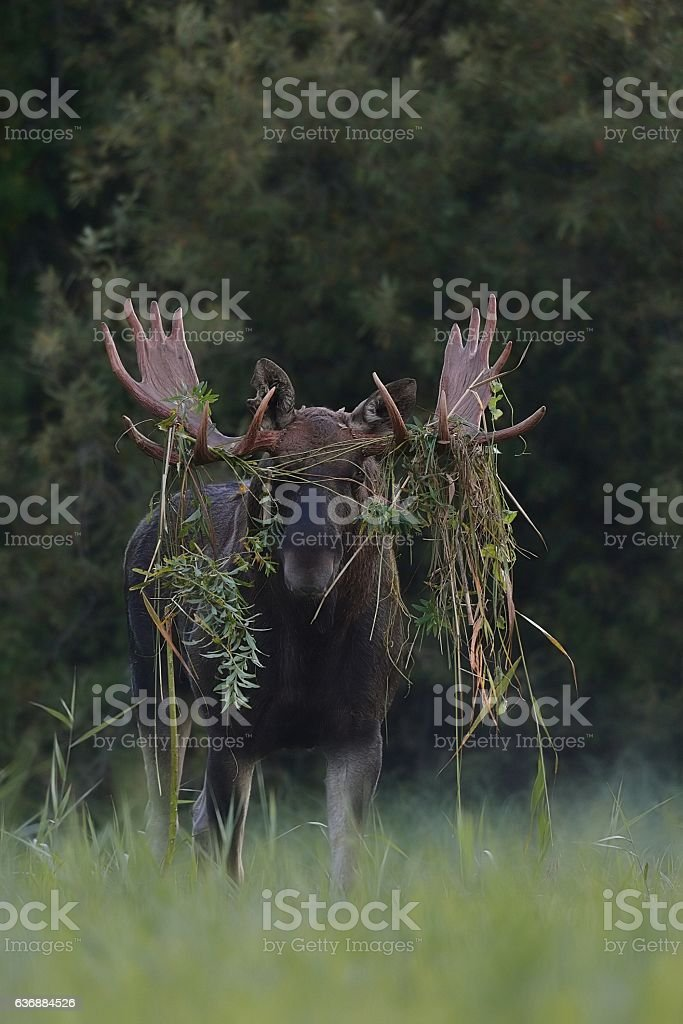 Moose bull with dressed up antlers stock photo