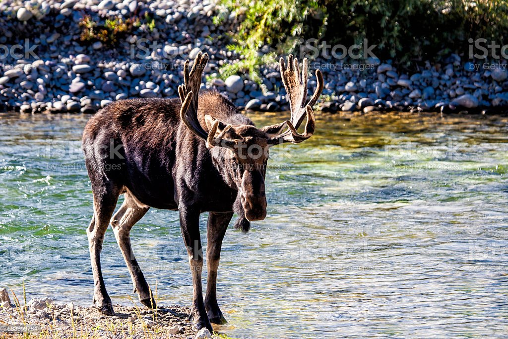 Moose By Stream stock photo