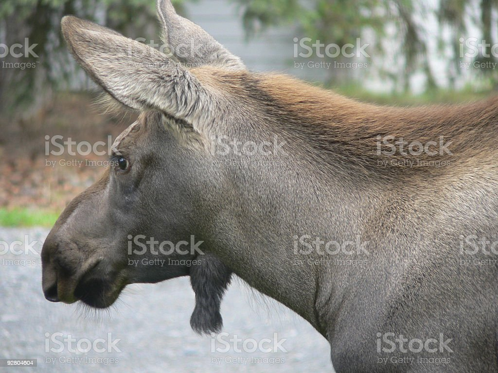 Moose Calf about 6 months old stock photo