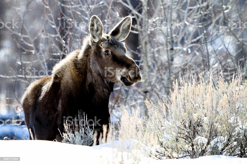 Moose calf and frosty day stock photo