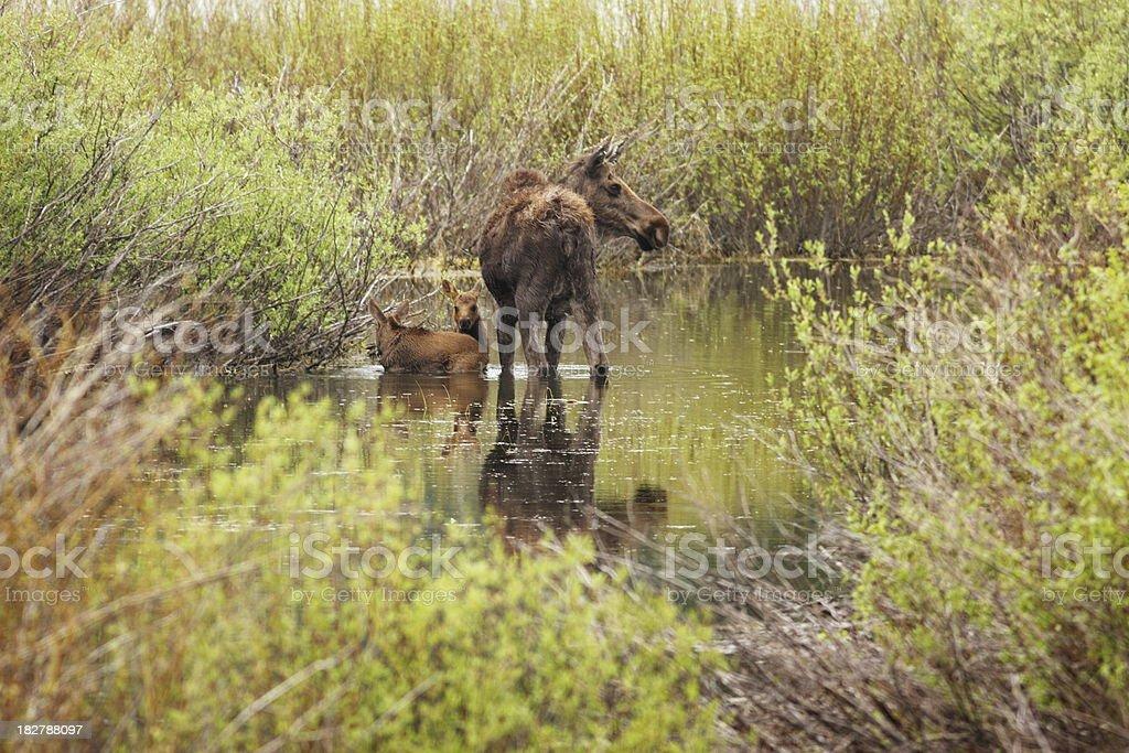 Moose Calf Babies Alces Cow stock photo