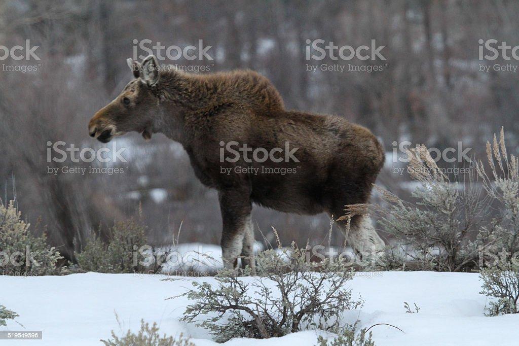 Moose Calf II stock photo