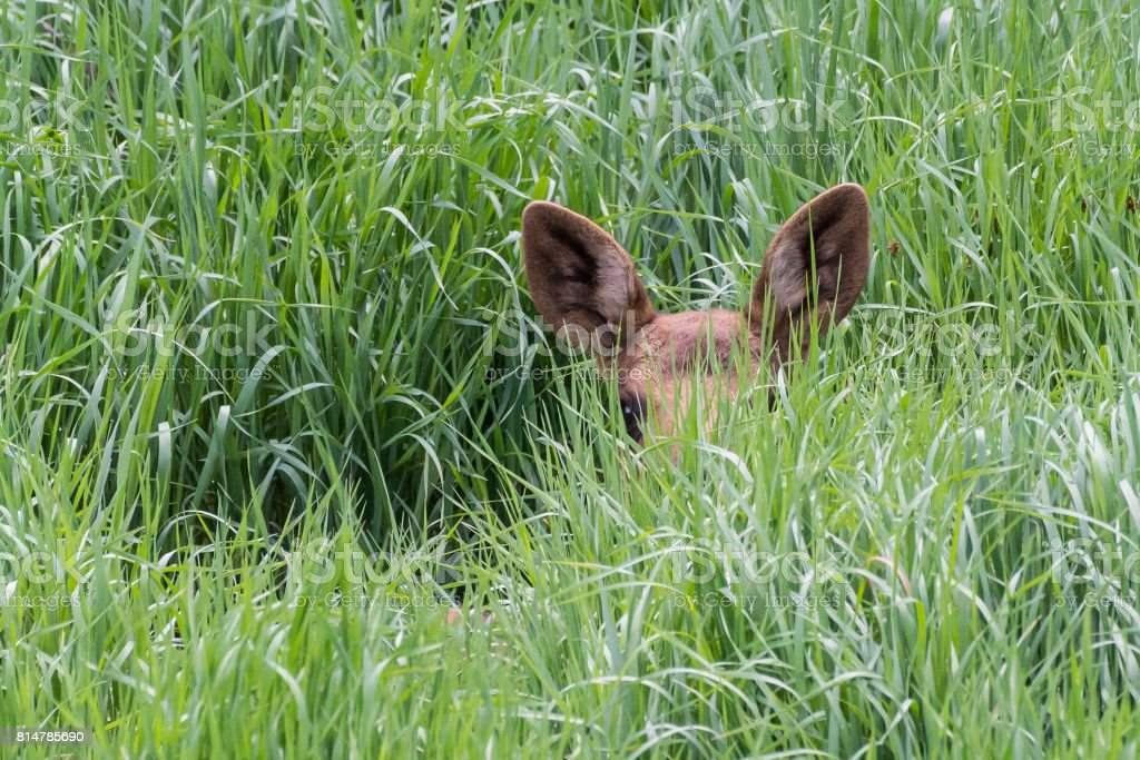 Moose Calf in Tall Grass stock photo
