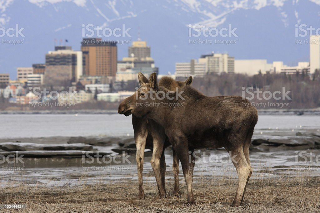 Moose checking out downtown Anchorage stock photo